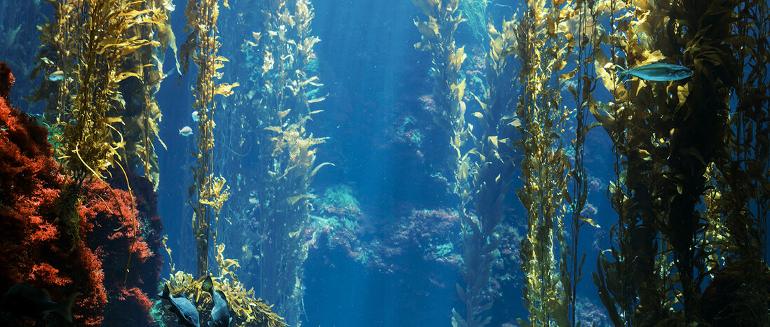 Kelp Forest aquarium tank with live seaweed